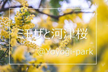 代々木公園の河津桜とミモザを撮ってきた!撮影ポイントを解説!