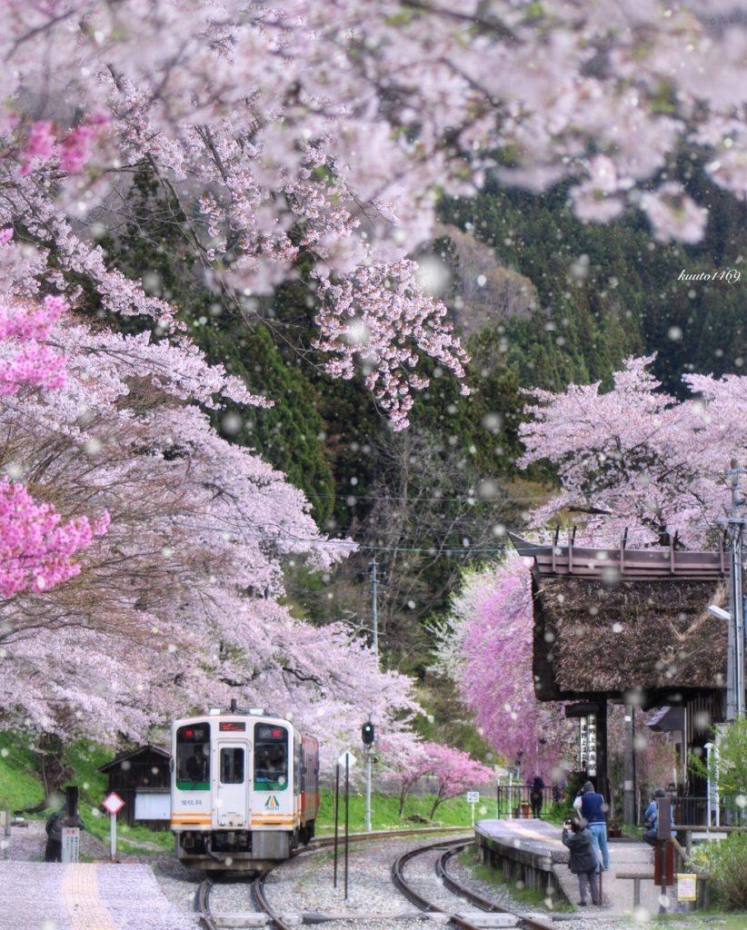 電車,雪,桜吹雪,桜