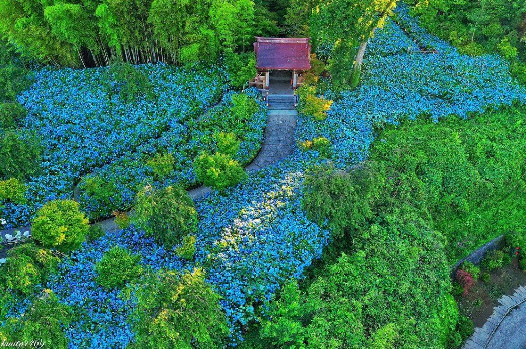 紫陽花,ドローン,竹林