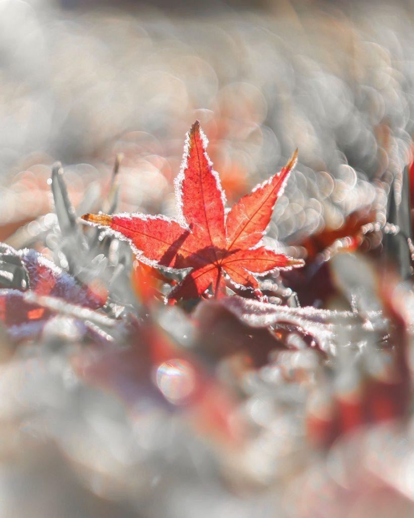 朝,紅葉,楓