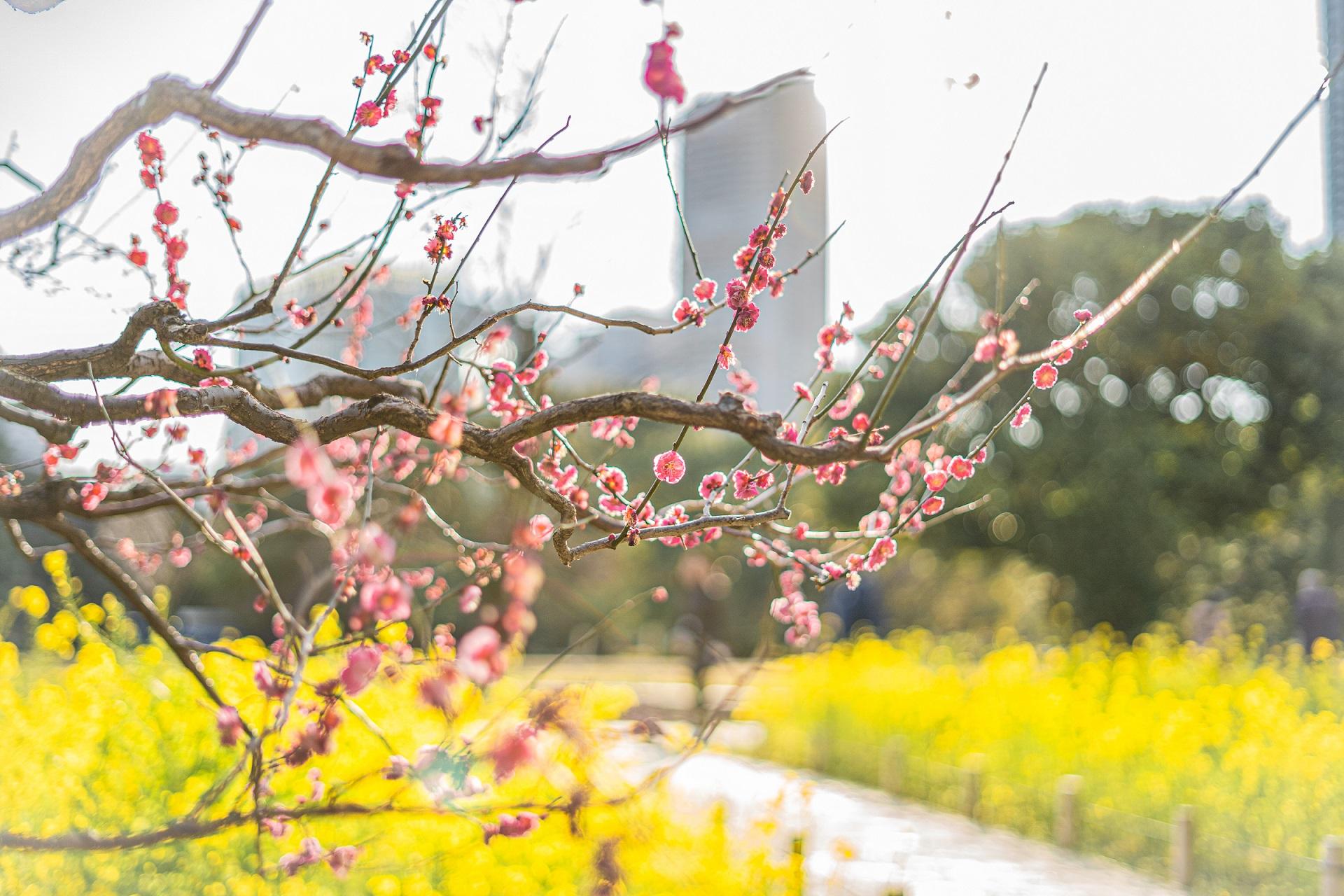 梅,菜の花,浜離宮恩賜庭園,東京