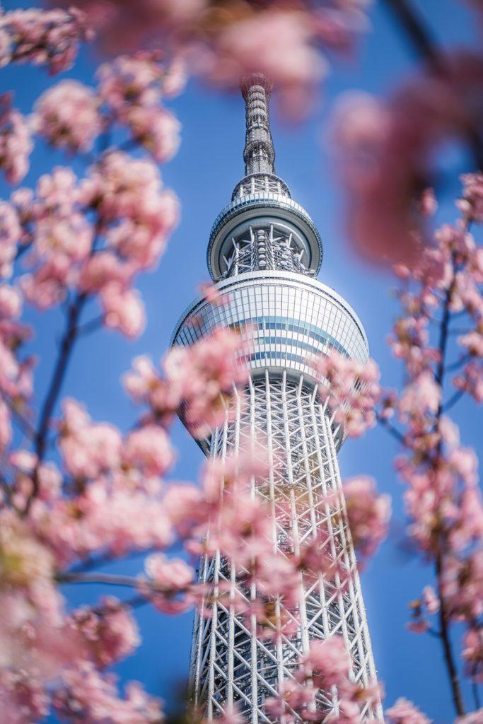 桜,スカイツリー,河津桜,東京