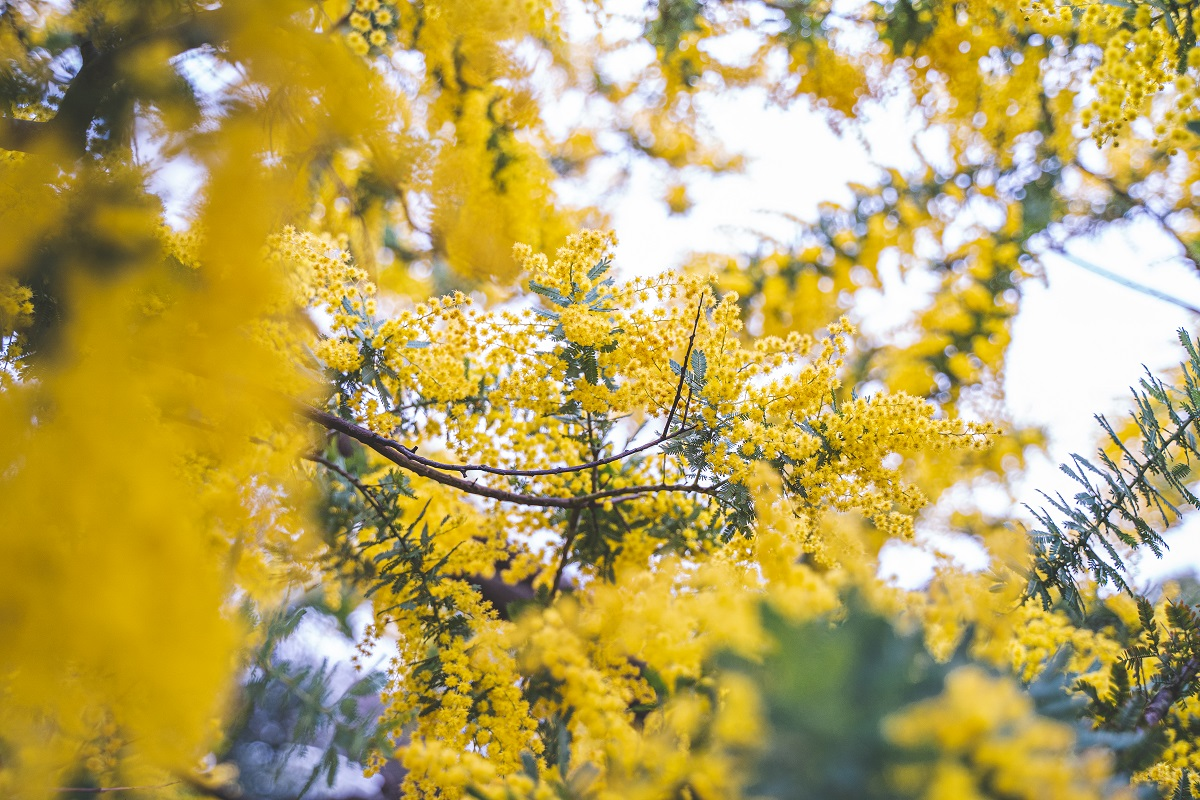 ミモザ,代々木公園,花