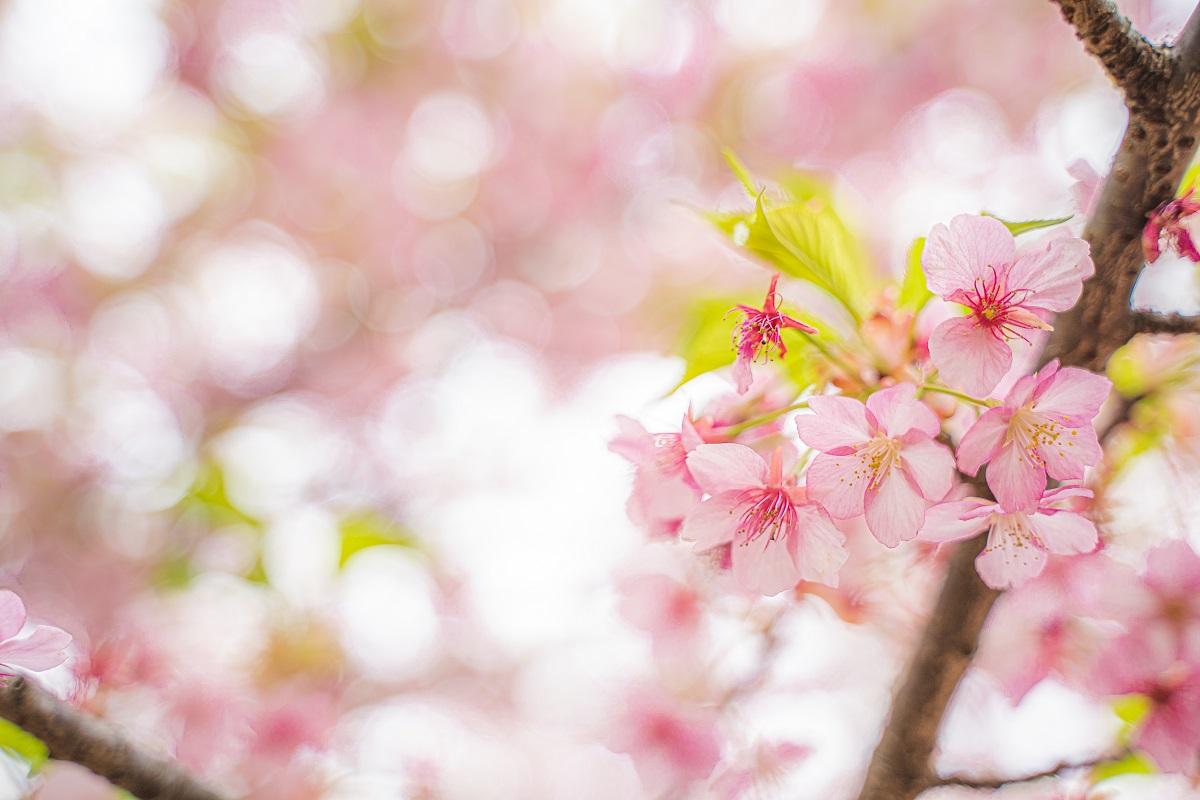 河津桜,桜,代々木公園