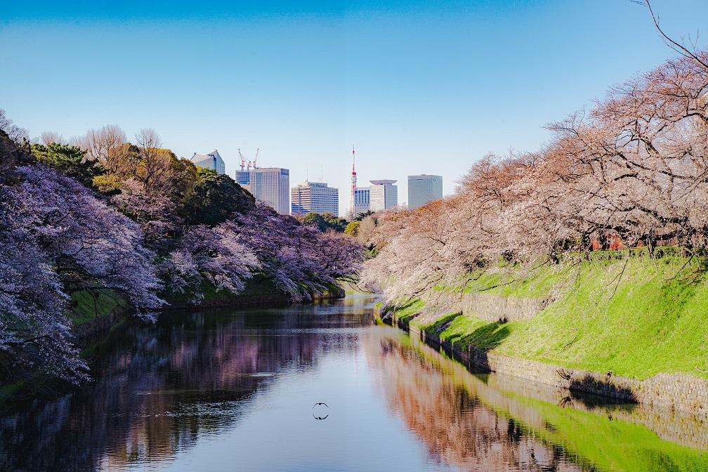 千鳥ヶ淵,桜,名所