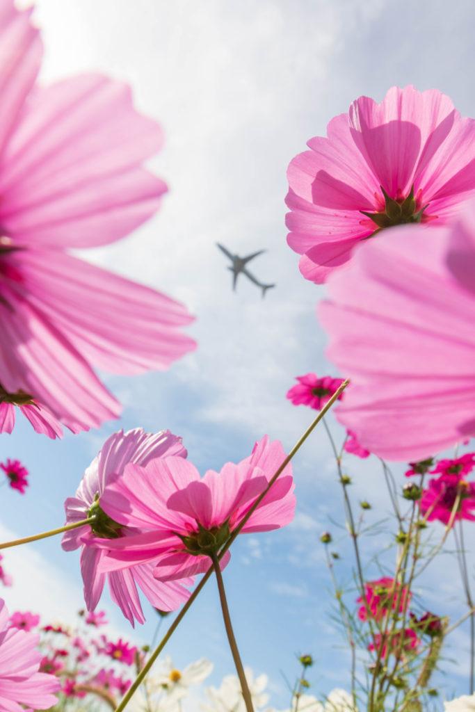 コスモス,飛行機,飛行機