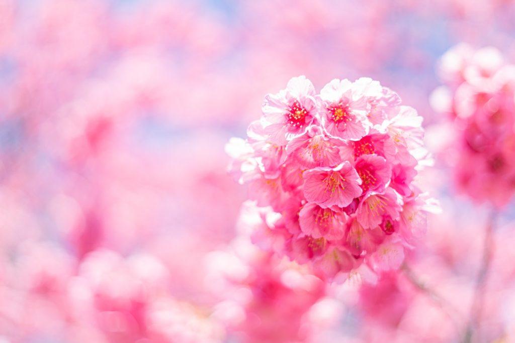 桜,緋寒桜,寒緋桜
