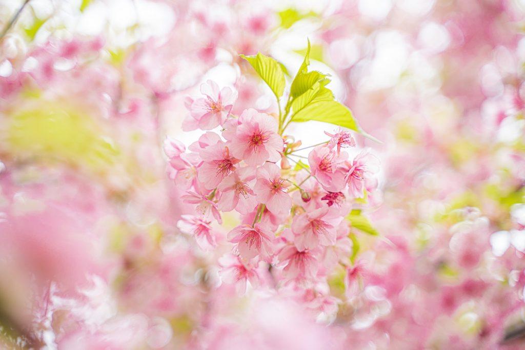 玉ボケ,桜,F値