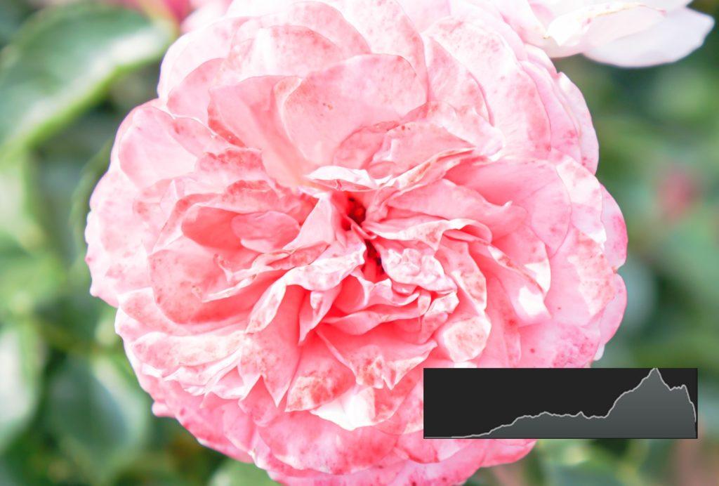 薔薇,バラ,ばら,露出