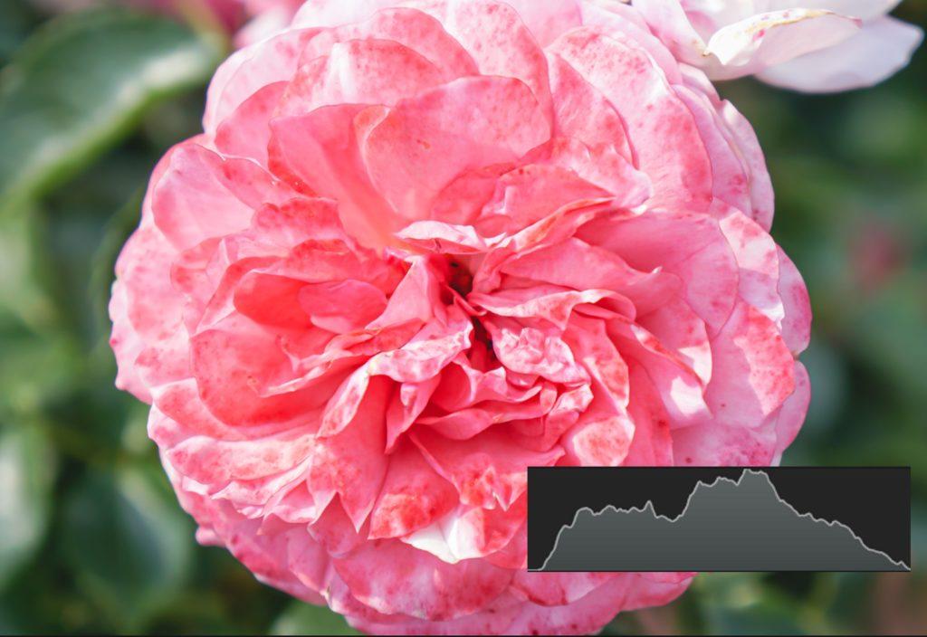 薔薇,バラ,ばら,綺麗