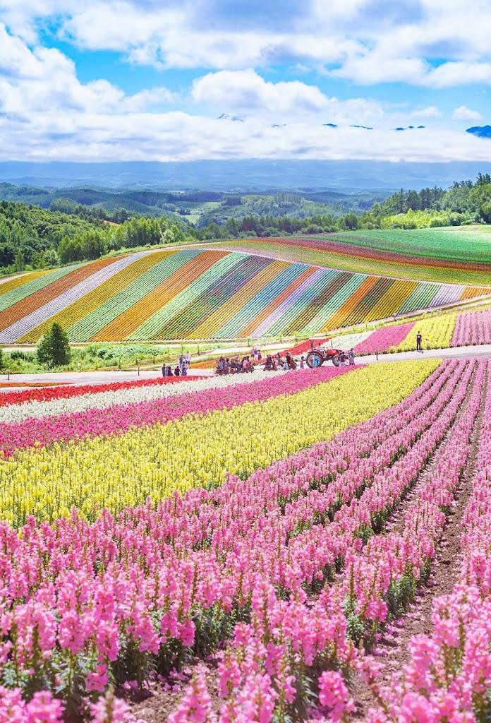 北海道,四季彩の丘,富良野,花
