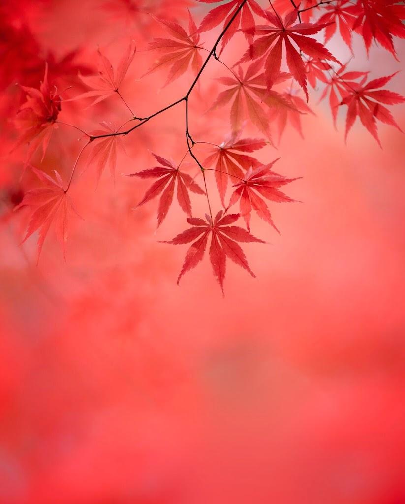 紅,紅葉,紅葉,秋
