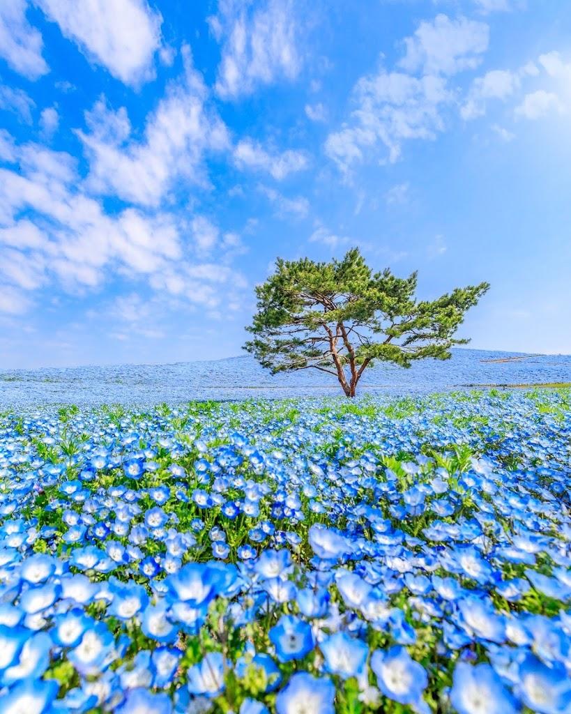 ネモフィラ,ひたち海浜公園,青空