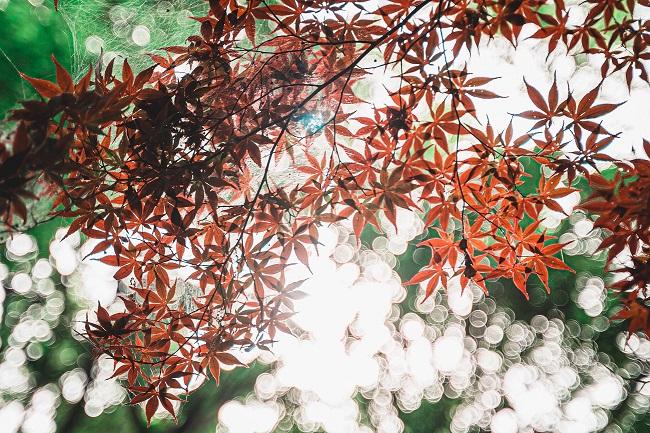 紅葉,イロハモミジ,新緑