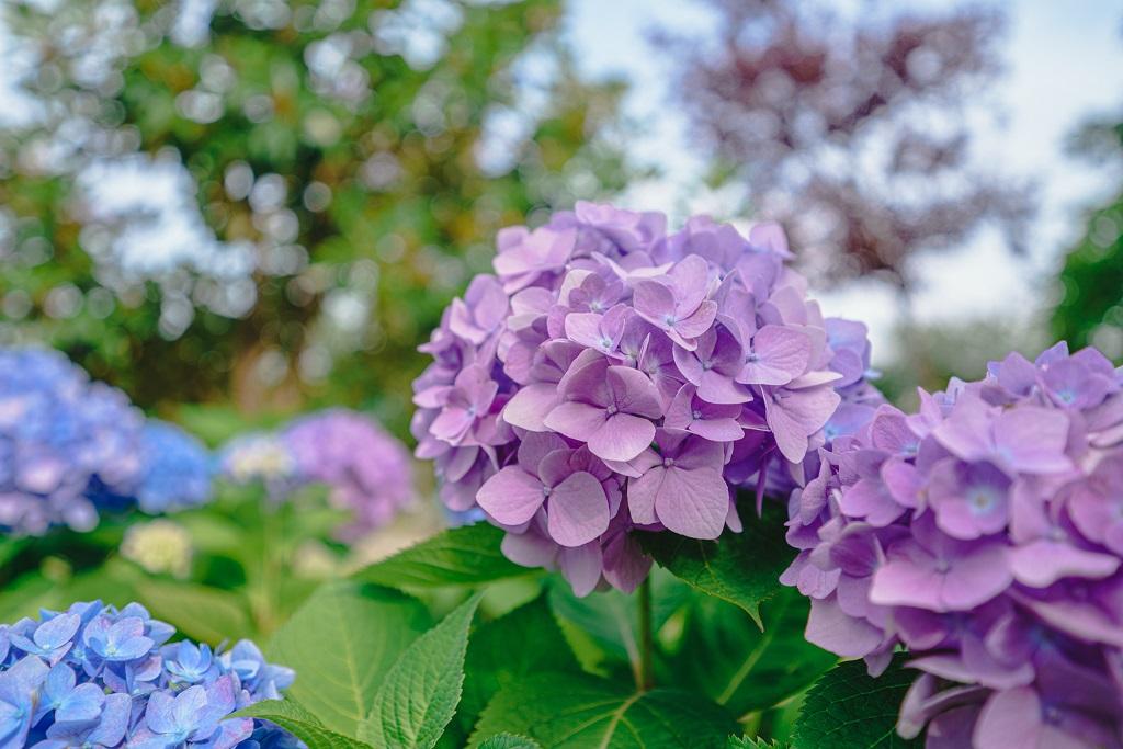 紫,花,玉ボケ