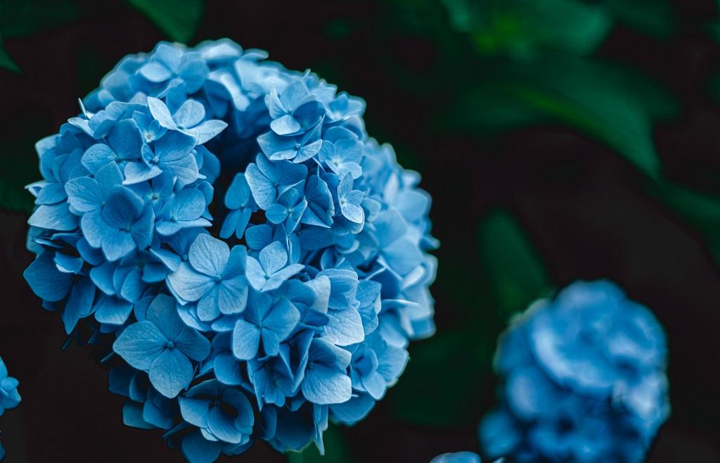 紫陽花,撮り方,ホワイトバランス